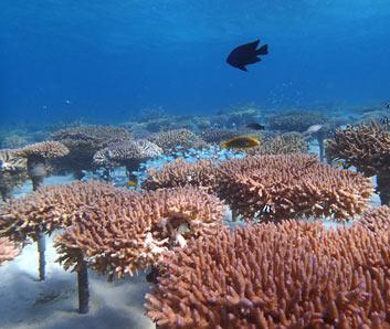 サンゴ再生プログラム